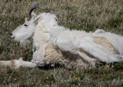 Granddaddy mountain goat