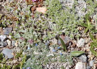 July pink & blue flowers on Beartooth Pass
