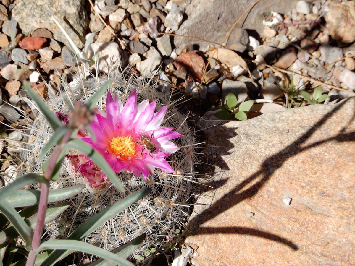 Cactus in bloom, bee, Arizona