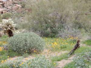 Scatterings of flowers, Arizona